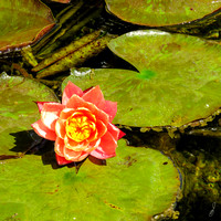 Pink Flower on Lilypad