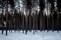 Artic Forest
