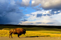 Sunset on the American Bison
